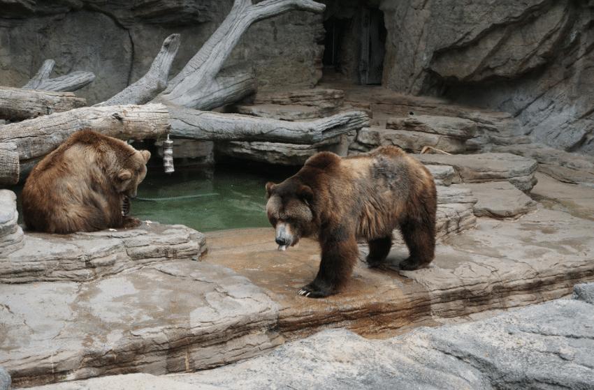 denver zoo bears